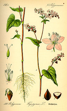 220px-Illustration_Fagopyrum_esculentum0